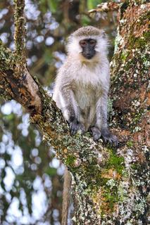Grüne Meerkatze im Lake Mburo Nationalpark in Uganda (Chlorocebus) | vervet monkey at Lake Mburo National Park in Uganda (Chlorocebus)