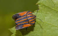 Striped bug 'Graphosoma lineatum'