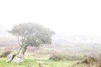 Windswept tress in the fog