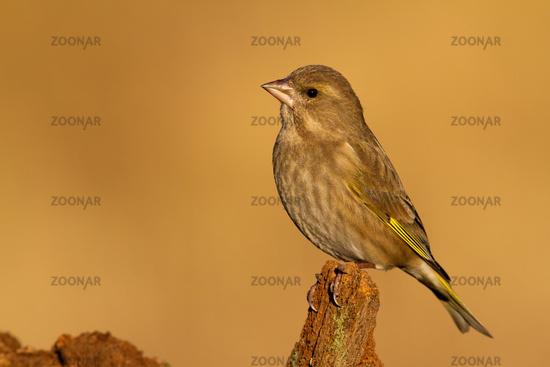 Female of european greenfinch sitting on stump with orange background