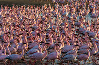 Huge colony of flamingos