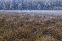 Laerchenwald im Herbst am Rande eines Moores / Larch forest in autumn / Christhinental  -  Schleswig-Holstein