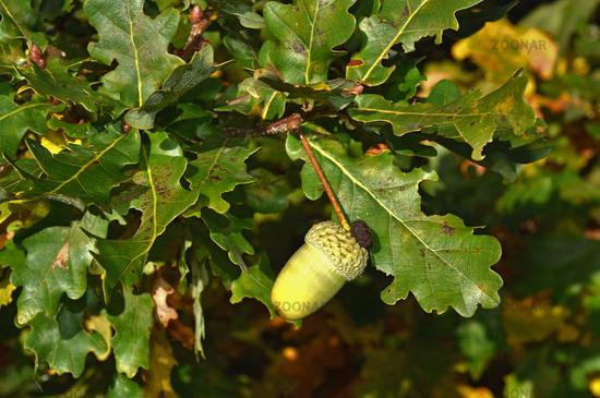 acorn of common oak, pedunculate oak, English oak,