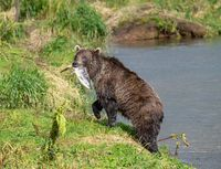 Fishing brown bear with salmon