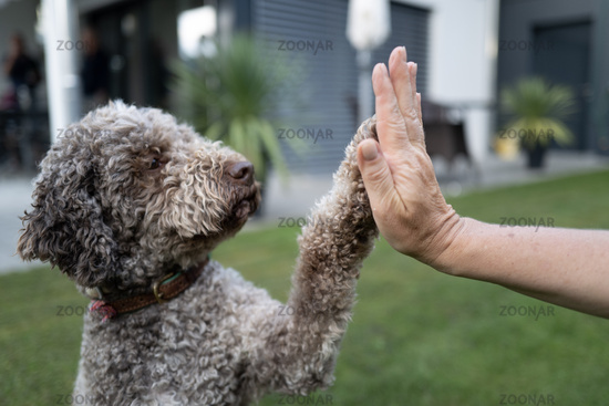 Lagotto Romagnolo give hands