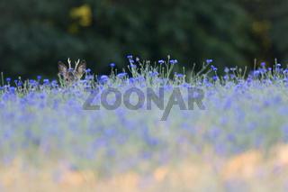 Rehbock Jaehrling in einem Gerstefeld mit Kornblumen