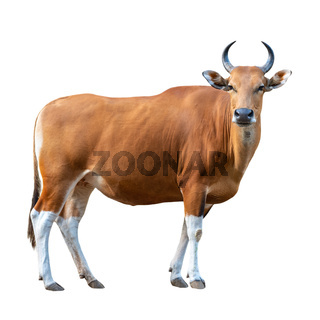 Banteng on white background