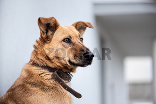 Dog looks at his master from work near the house. Dog is a faithful and best friend of man