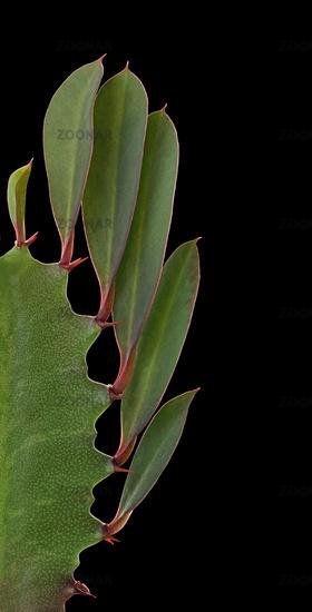 African milk bush  (Euphorbia trigona)