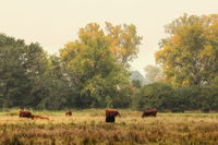 Red cattles in the Natural reserve Bruchwiesen