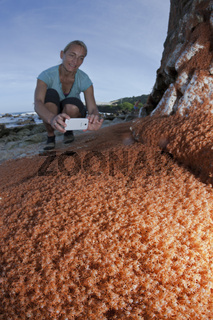 Juvenile Krabben wandern an Land, Weihnachstinsel