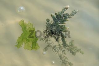 An Meeresoberfläche schwimmen Seetang und Alge - Nahaufnahme