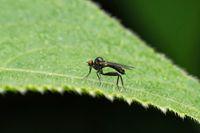 Black robberfly, Dioctria sp, Maharashtra, India