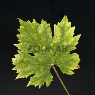 Weinblatt; Weisser Wein; Herbst