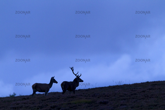 At dusk a Red Deer stag and a hind move to a heath area
