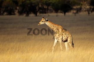 Giraffe in open grassland