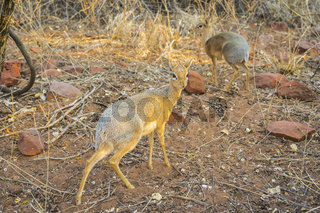 A Dik-dik antelope in the Waterberg National Park in Namibia, Africa.