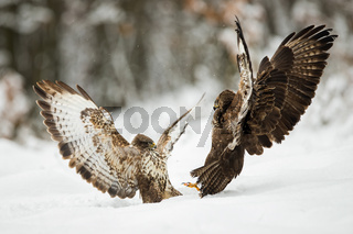 Two common buzzards fighting with wings open on snow in winter