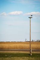 Stork on a pole building a nest