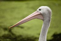 Close-up portrait of an old pelican with a blurred background.