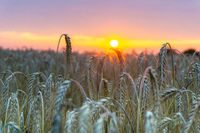 Beautiful sunset with wheat field in the front.