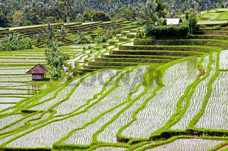 Rice fields and rice terraces in Bali Indonesia