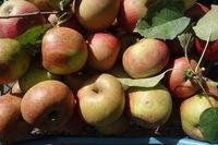 Malus domestica Boskoop, Apple