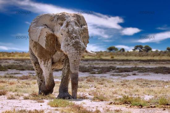 Elephant, Etosha National Park, Namibia, (Loxodonta africana)   elephant, Etosha National Park, Namibia, (Loxodonta africana)