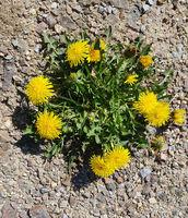 Loewenzahn, Mauerbluemchen, Pionierpflanze
