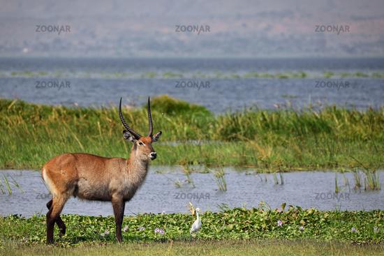 Defassa waterbuck, Murchison Falls National Park Uganda (Kobus defassa)