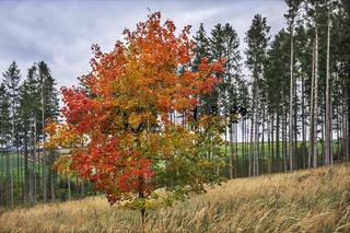 Junger Ahornbaum im Herbst