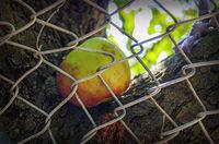 Apfel liegt in einer Astgabel hinter Maschendrahtzaun