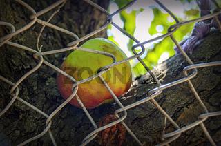Apfel hinter Maschendrahtzaun