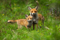 Young red fox cub cuddling with its mother in spring nature