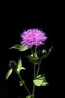 Wiesen-Flockenblume, Centaurea