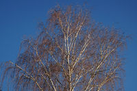 The huge crown of a birch tree in the blue winter sky