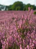 Close-up of the purple blossoms of heather, Ericaceae