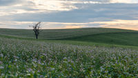 Bare tree on the hill with a field of flowers