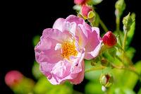 Pink rose flower blossom