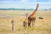 Charming giraffe familie