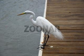 Storch an der Küste des Golf von Mexico, Fort Myers Beach, Florida