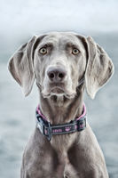 young female Weimaraner