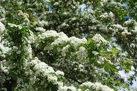 20200506_Crataegus monogyna, Eingriffliger Weißdorn, Common Hawthorn006.jpg