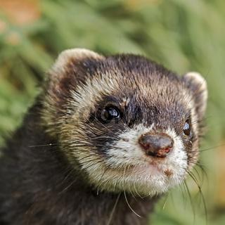 European Polecat (Mustela putorius) Closeup