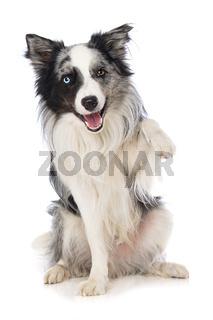 Border collie dog on white background