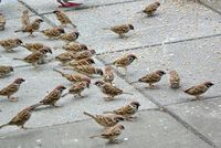 A flock of brown sparrows feeds on breadcrumbs in the park