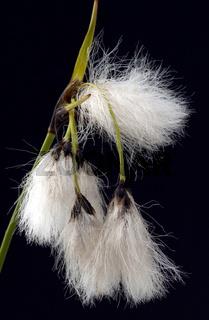 Wollgras, eriophorum