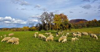 Schafherde auf der Herbstweide