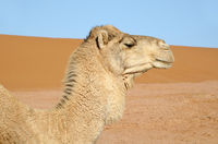 Portrait of white camel
