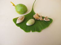Cracked Ginkgo nut, seed without shell, Ginkgo biloba